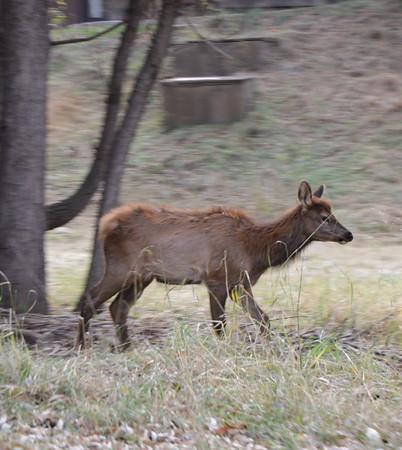 a baby elk!