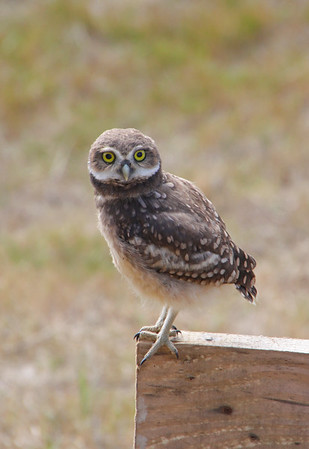 One of the many ridiculously cute burrowing owls that call our hostel home as well