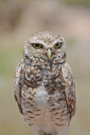 A burrowing owl, looking a bit no-nonsense. Punta del Diablo, Uruguay.