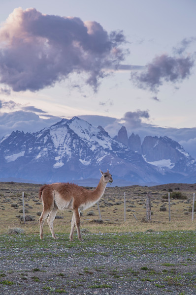 A guanaco in front of the Torres