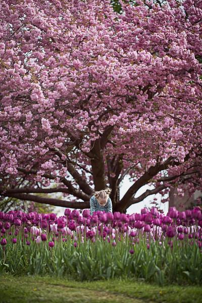 Ruby tulips cherry tree Kristen Rice
