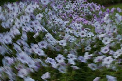 Impressions of Petunias at Mercer Arboretum
