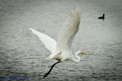 Great Egret at Brazos Bend Park, Texas.