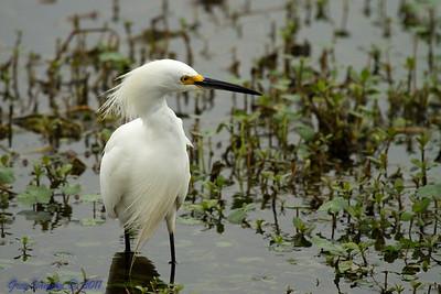 Snowy Egret at Brazos Bend Park, Texas.