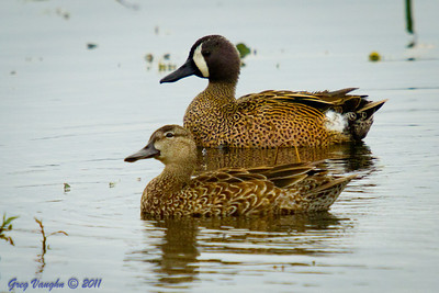 Blue Winged Teal at Brazos Bend Park, Texas.