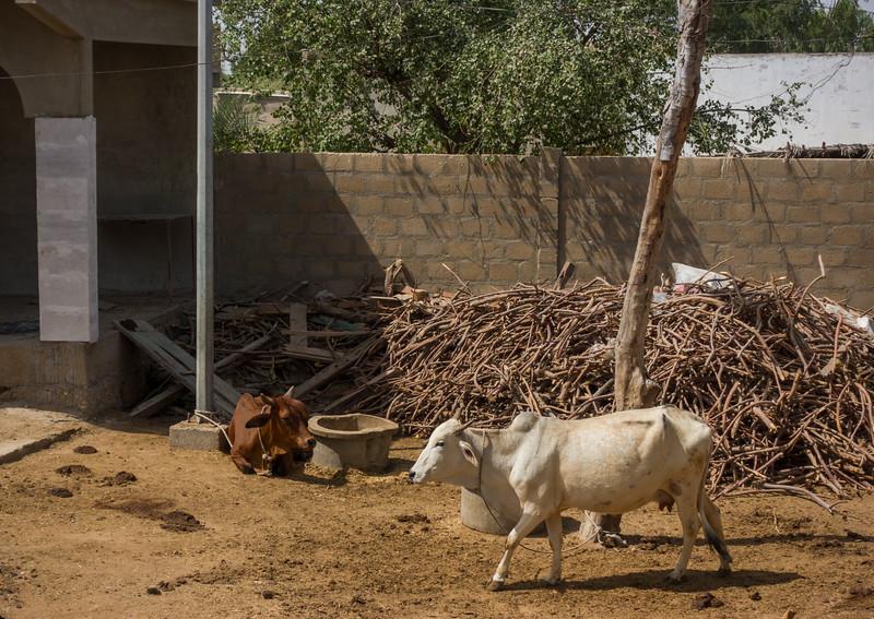Cows at the Hanuman Mandir.