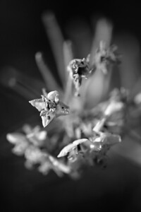 09_03_08 Anza Borrego Flowers 0404
