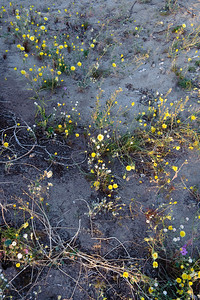 09_03_08 Anza Borrego Flowers 0612