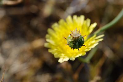 09_03_08 Anza Borrego Flowers 0410