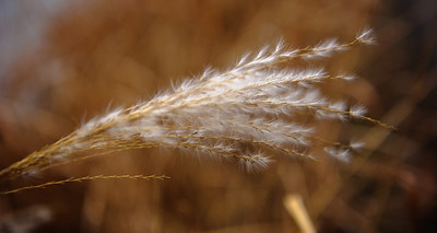 grasses going to seed