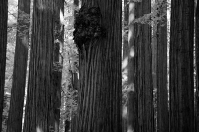 10_09_30redwoods national park0776