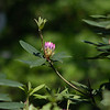 Emergent Rhododedron