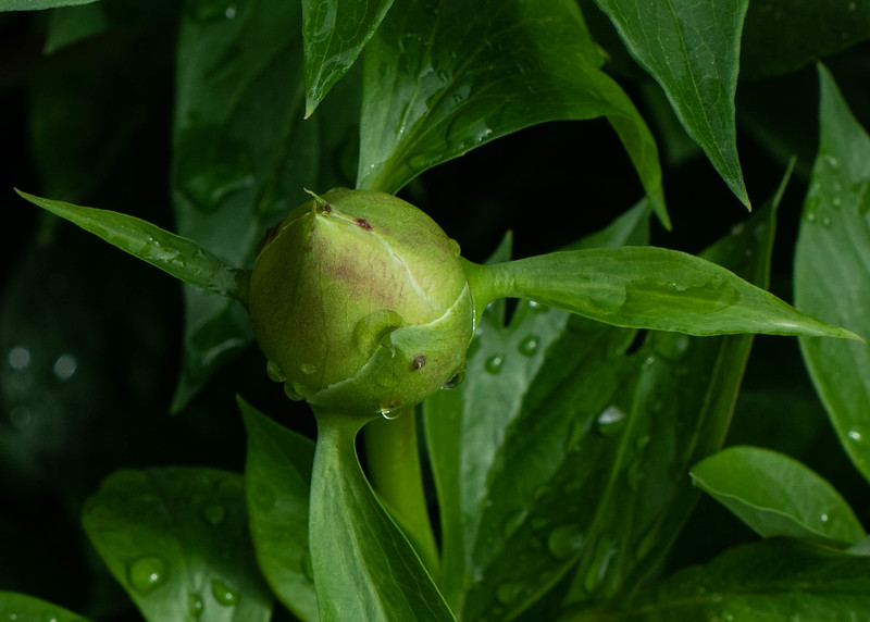 Rhododendron Bud After the Rain
