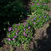Purpura Flore Minimum