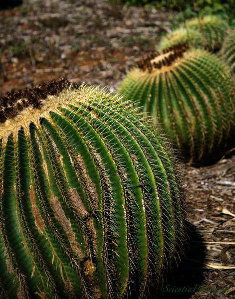 Huge Barrel Cactus in the Kokohead Botanical Garden