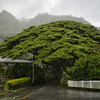 Monkey Pod Tree in the Rain in the Manoa Valley