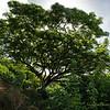Monkey Pod Tree at the Edge of the Kawainui Marsh