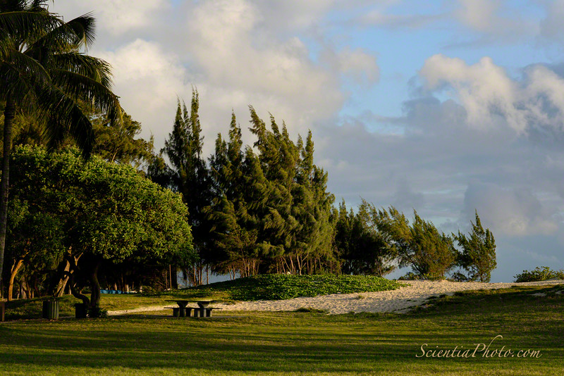 The Ironwoods of Kailua Beach Park in the Golden Hour