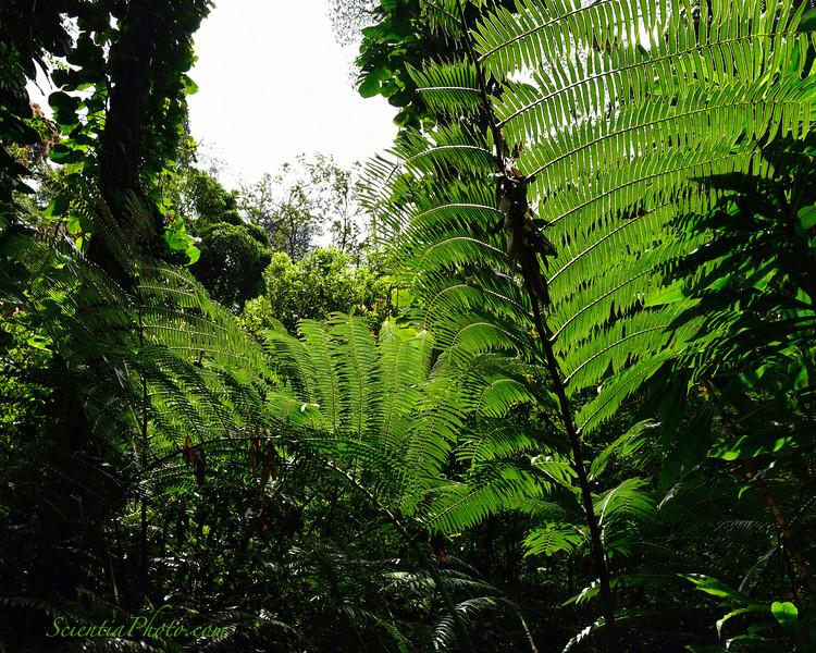 Giant Ferns in Upper Manoa Valley