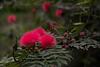 Ohia Blossem in Waimea Park