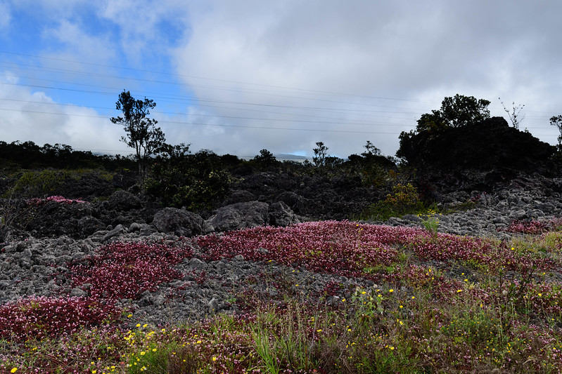 Red and Yellow Flowers on Lichen-Covered Lava