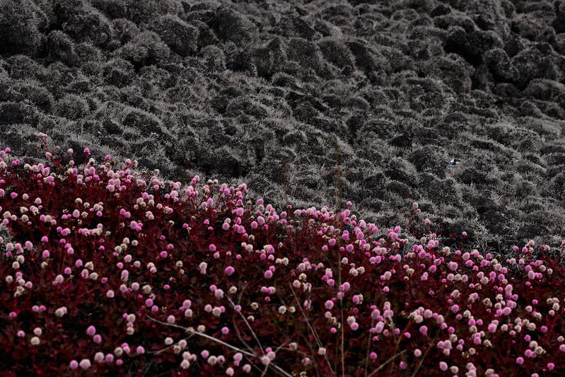Red Flowers & Lichen-Covered Lava
