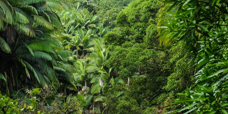 Rain Forest Along the Hamkua Coast