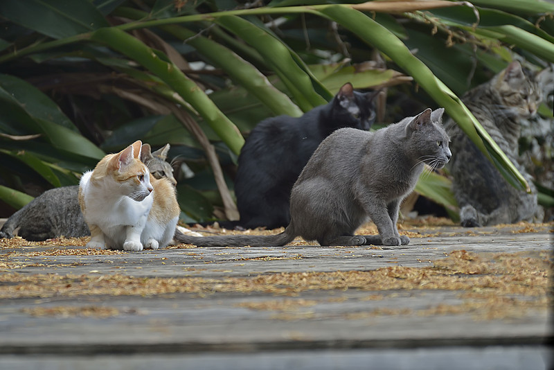 Feral Cats at Heeia