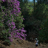 30-Foot Tall Bouganvillia