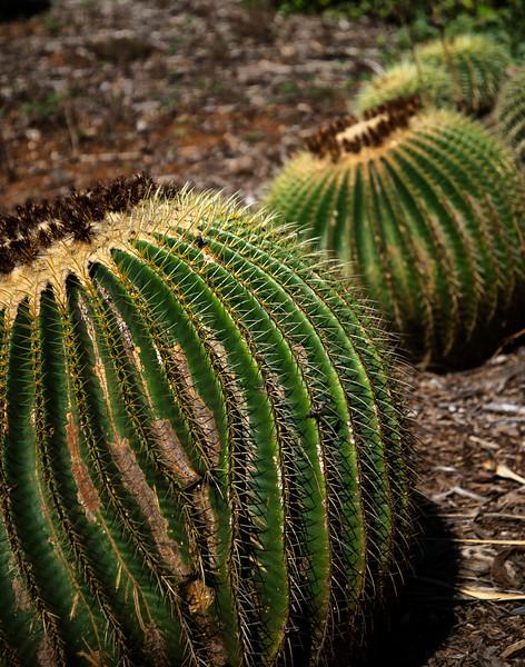 A Kind of A Barrel Cactus