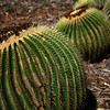 A Kind of A Barrel Cactus
