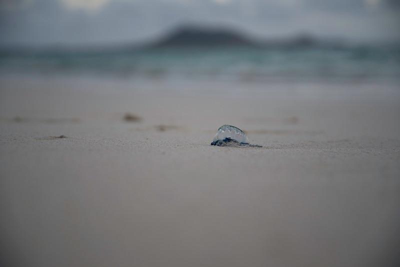 Portuguese Man O' War on Kailua Beach