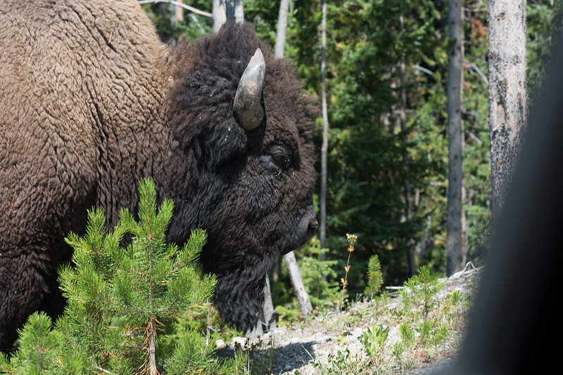 Old Male Bison