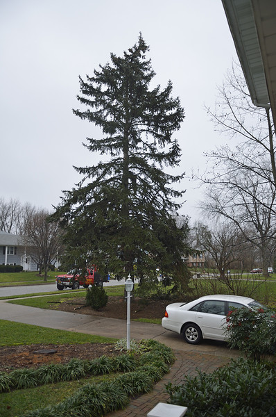 The Blue Spruce in it's Final Glory