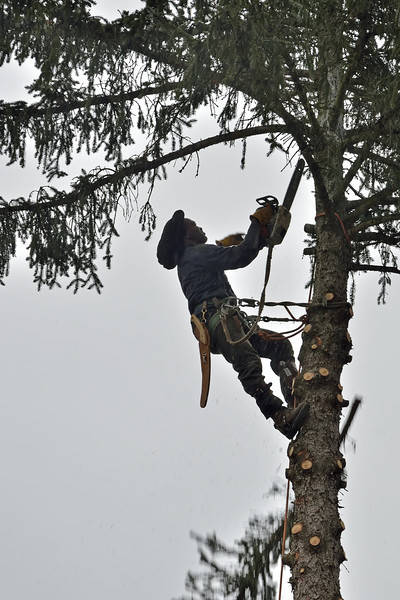 """Raymond Attcking the Blue Spruce Like He Was in """"The Pirates of Towson"""""""