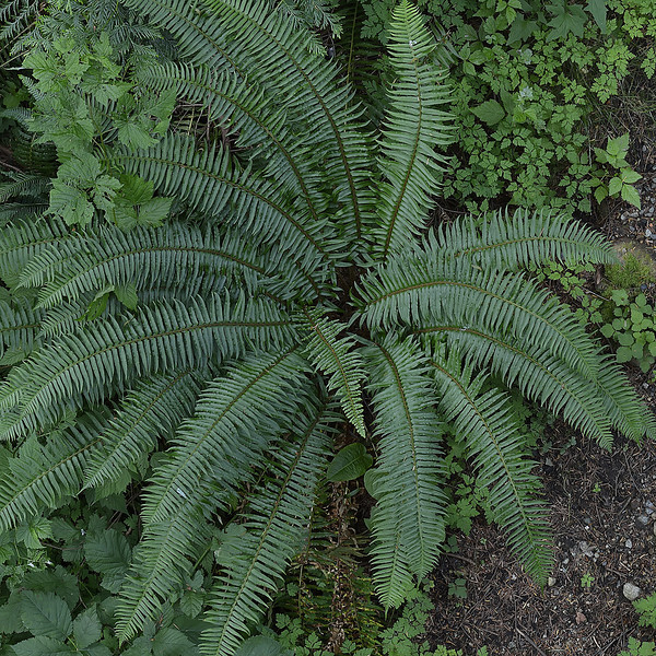 Fern from the Zenith