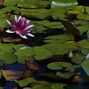 Lilly Pond in Stanley Park