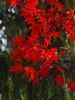 Japanese Maple on Landrake Rd