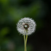 Dandelion in Kimberly's Yard
