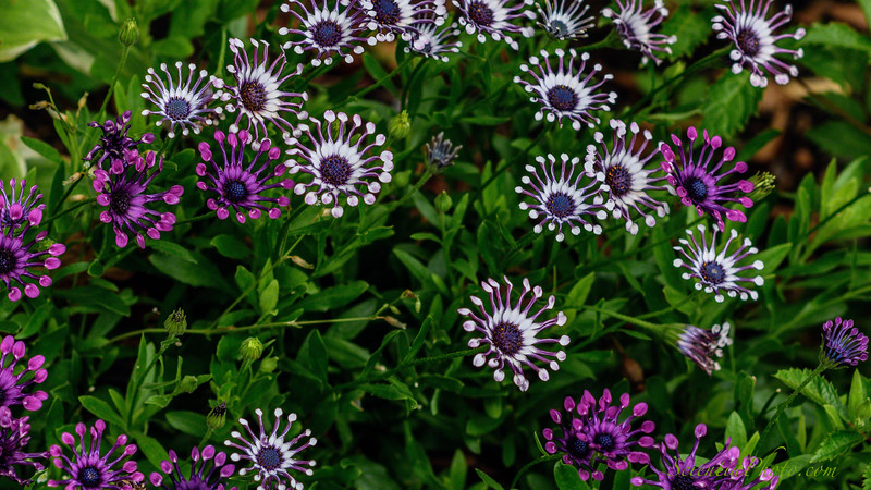 African Daisies at the Five Gables Inn, East Boothbay, Maine