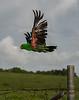 Feral Parrot