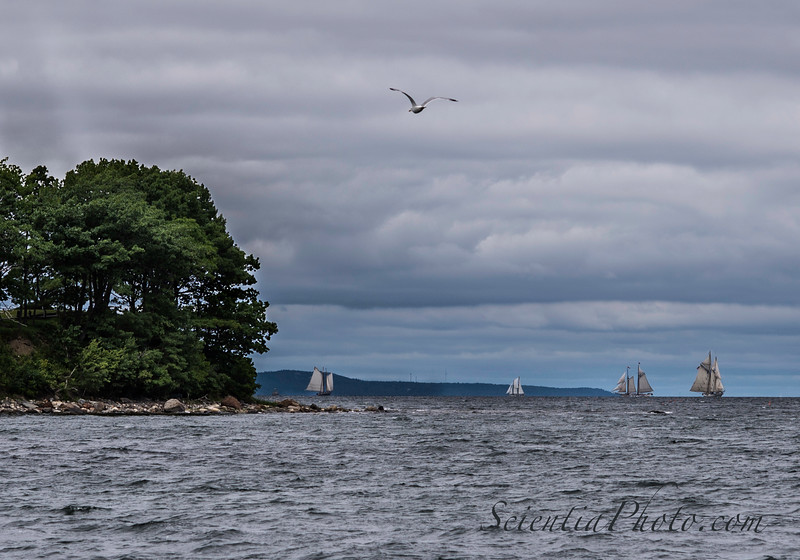 The Leading Ships in the Great Schooner Race Round the Point and Enter Rockland Harbor