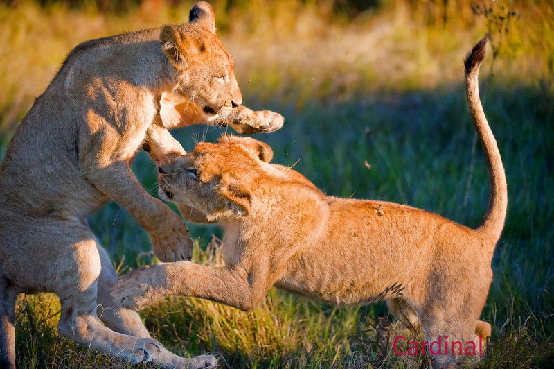 Young lions playing on the grass learning the skills they'll need to hunt and defend their territory when they grow up. Vumbura area, Botswana, Africa.