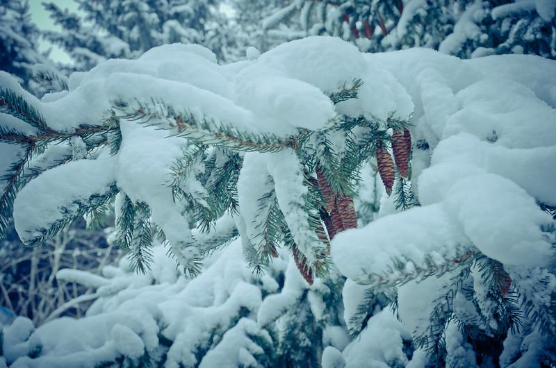 Pine Cones Under the Snow