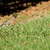 Brave Robin