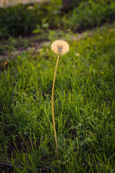 Tall Dandelion