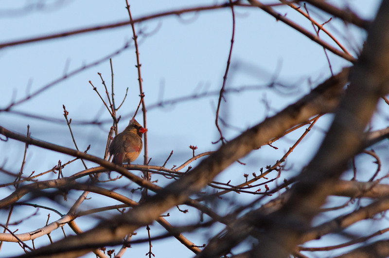 First Cardinal in Spring