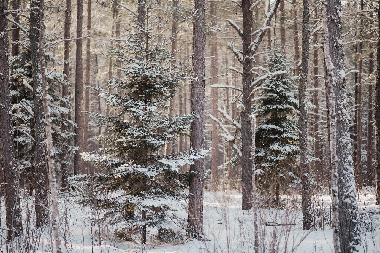 Pine Forest | Angora, MN