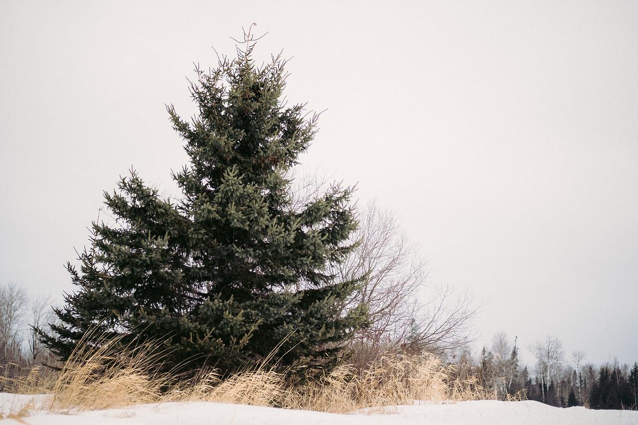 Pine in grass | Angora, MN