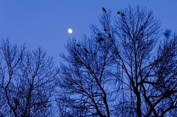 Day 308: Murder of Crows under the Moon We received a little bit more of snow today and it was freezing cold. The high for today was in the low 20's and the low will reach below 0. A contrast from last week's temperature. The freezing temperature did not deterred the crows. They were active around campus.